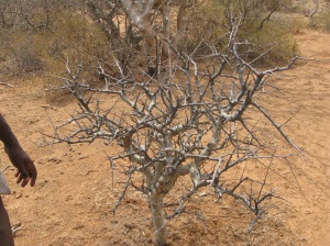 Myrrh tree, Ogaden region of Ethiopia. Photo courtesy of Ermias Dagne
