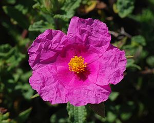 Cistis creticus (Cistus) source of traditional Cretan Labdanum