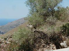 cretan goats, collect Labdanum as they brush against against Cistus while grazing