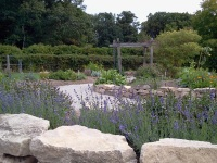 Lavender flowers for medicine, incense and essential oils-Apothecary's Garden Hamilton