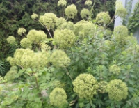Angelica seed head for medicinal, fragrance and culinary purposes