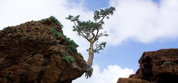 Frankincense tree in the wild