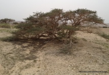 "Desert Acacia in a ""Wadi"" between the Dead Sea and Eilat"