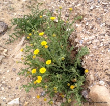Desert Wild flowers on the descent to the Dead Sea