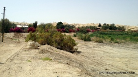 Gorgeous Bouganvillia at Neot Hakikar in the Negev desert south of the Dead Sea